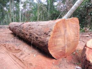 MUKULUNGU LOG - 刚果铁木
