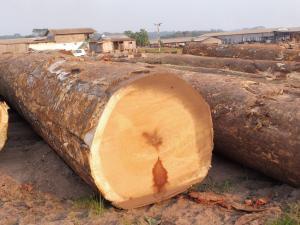 IROKO VENEER GRADE - 非洲黄金木