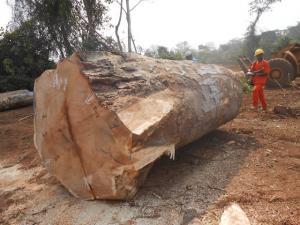 PACHYLOBA LOG YARD8 - 非洲厚叶缅茄木DOUK LOG - 西非紫檀木