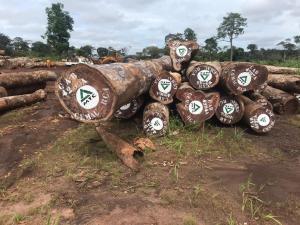 Pachyloba MTC Logs 6 非洲厚叶缅茄木