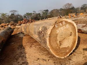 PACHYLOBA LOG BANGUI - 非洲厚叶缅茄木